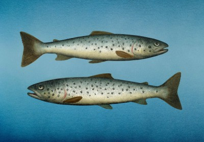 Modern Artist Donald PROVAN - Two Small Seatrout